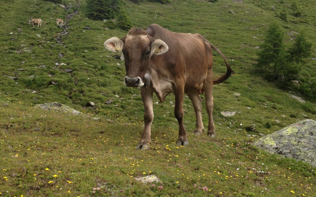 Mountain Thoughts: Ode to the Kuh (Cow)