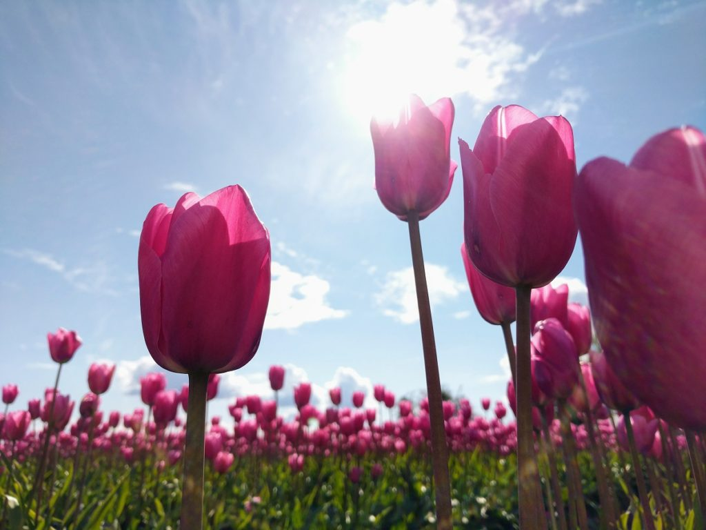 tulips, Skagit Valley Blooms in Spring