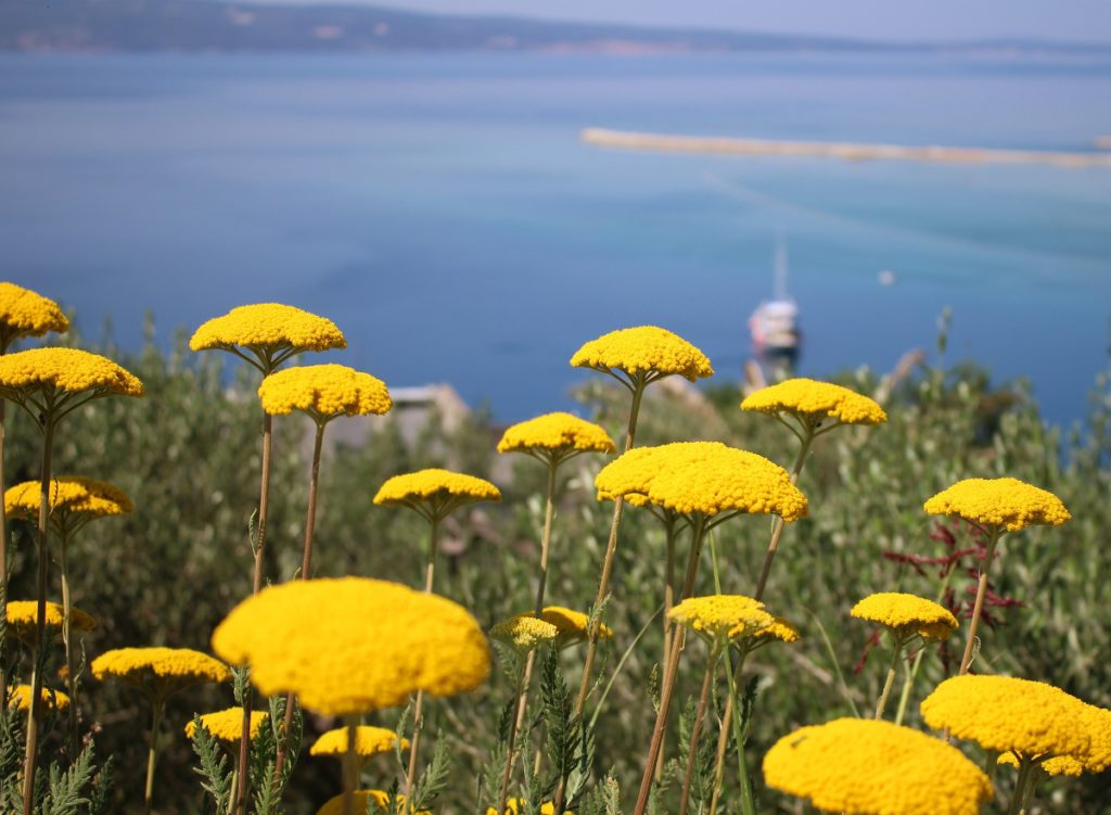 Yellow wildflowers and sea in Croatia.