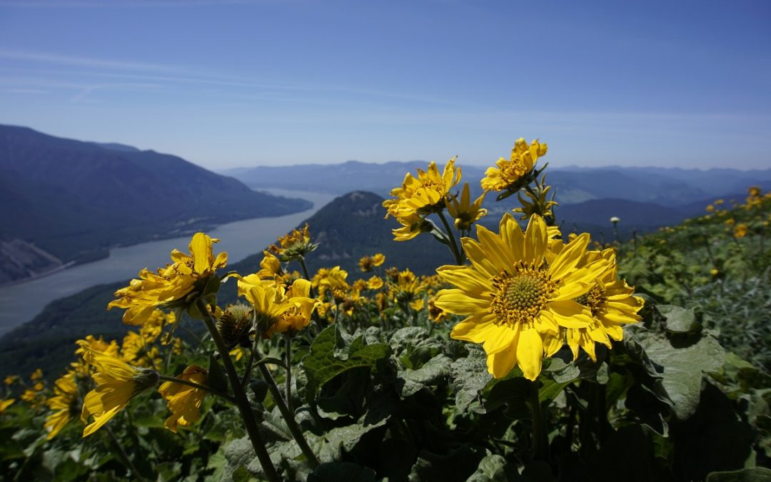Trail Report: The Wildflowers of Dog Mountain