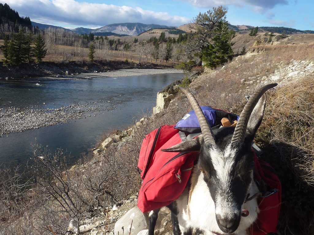 Hiking With Pack Goats is a Thing, goat carrying a backpack on a hike.