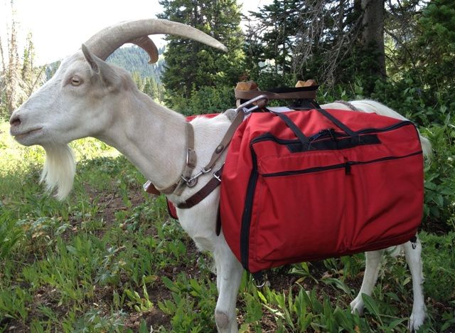 Hiking With Pack Goats is a Thing, goat carrying a red backpack.