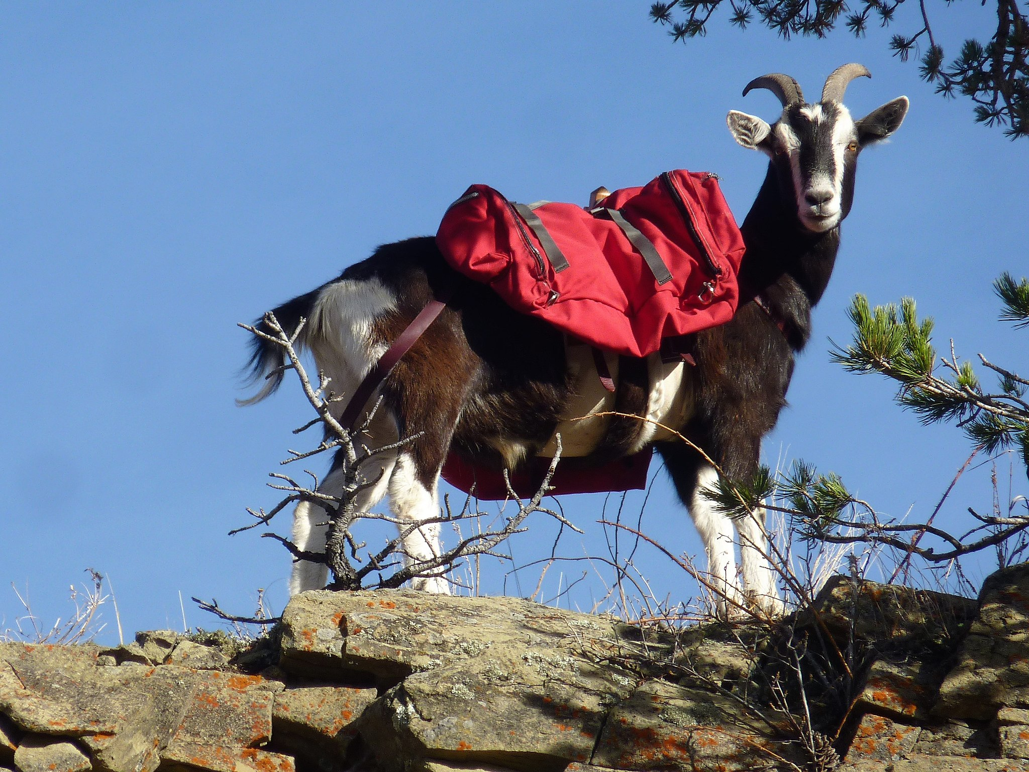 Hiking With Pack Goats is a Thing featured image