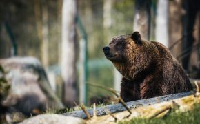 Bear Featured Image - American bear in a forest.
