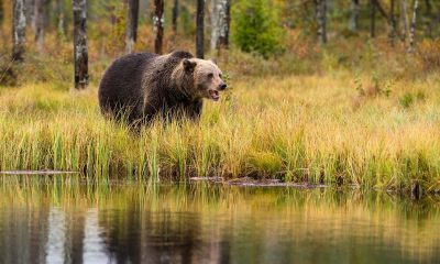 Bearanoid Featured Image - Bear in a forest next to a water surface.