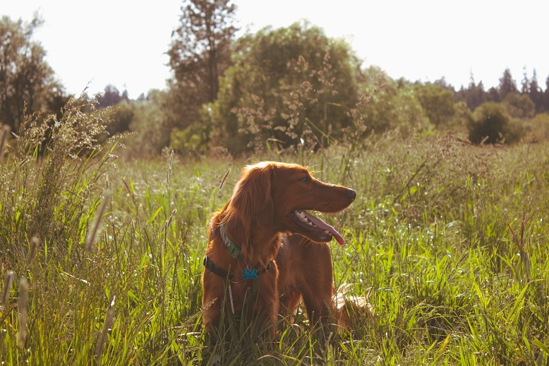Wilderness Encounters - Irish Setter dog standing in a grass field.