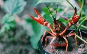 Lets Go Crawdaddin - An image of a crawdad.