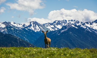 deer standing on green grass with snowy mountains in background