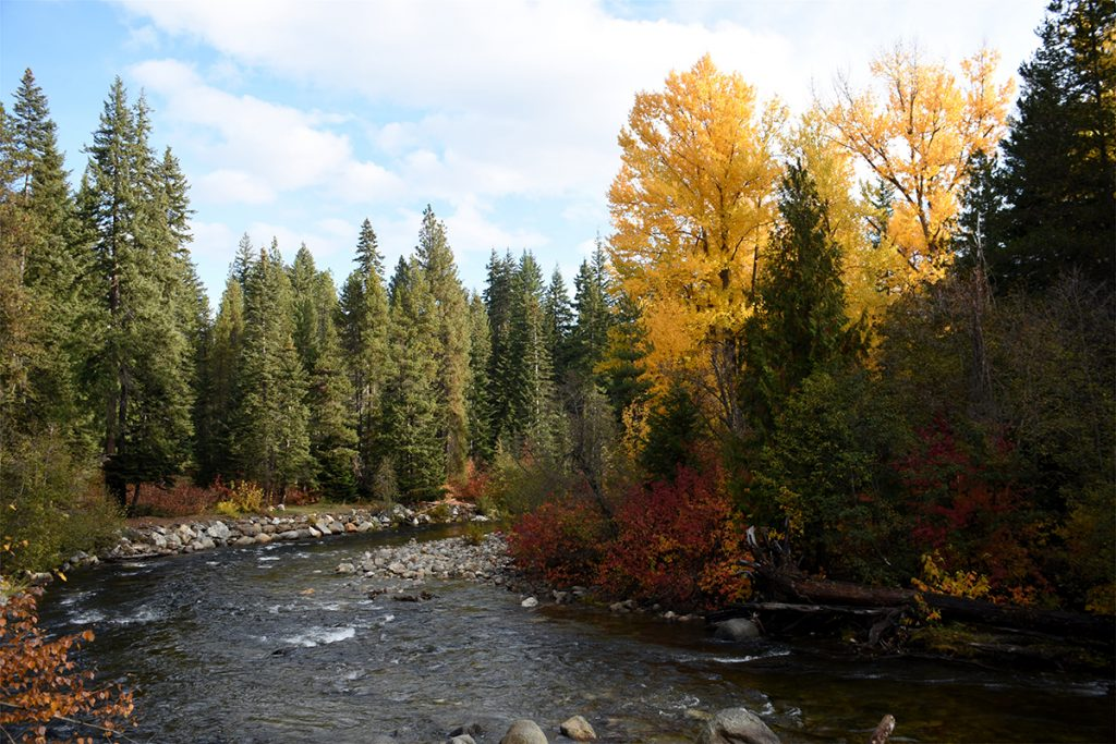 river between pine trees in fall