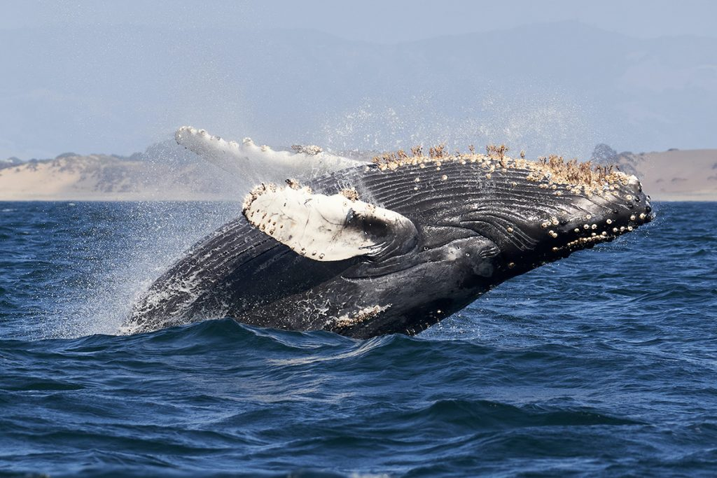 humpback whale in the water