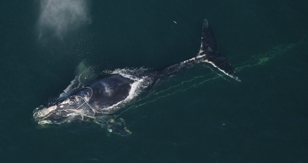 North Atlantic right whale in the water