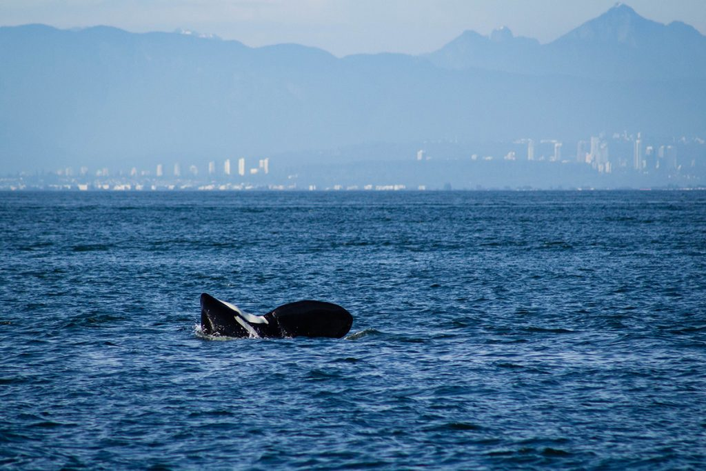 orca whale in body of water