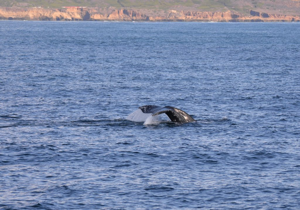 gray whale in the water