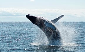 humpback whale over body of water