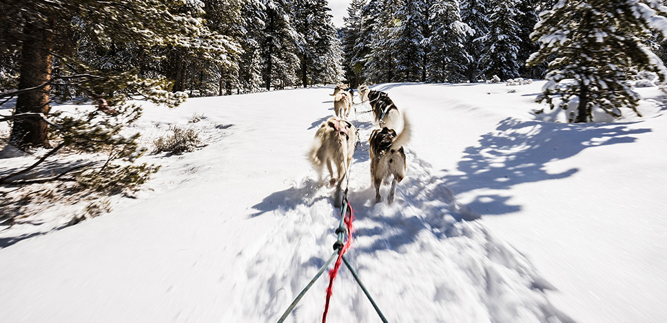 Dogs pulling a sled up a winter trail in between the pine trees