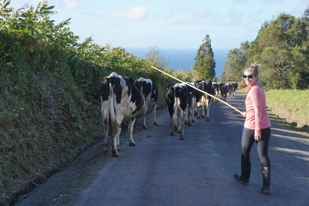 Azores_Islands_Danielle_Cows