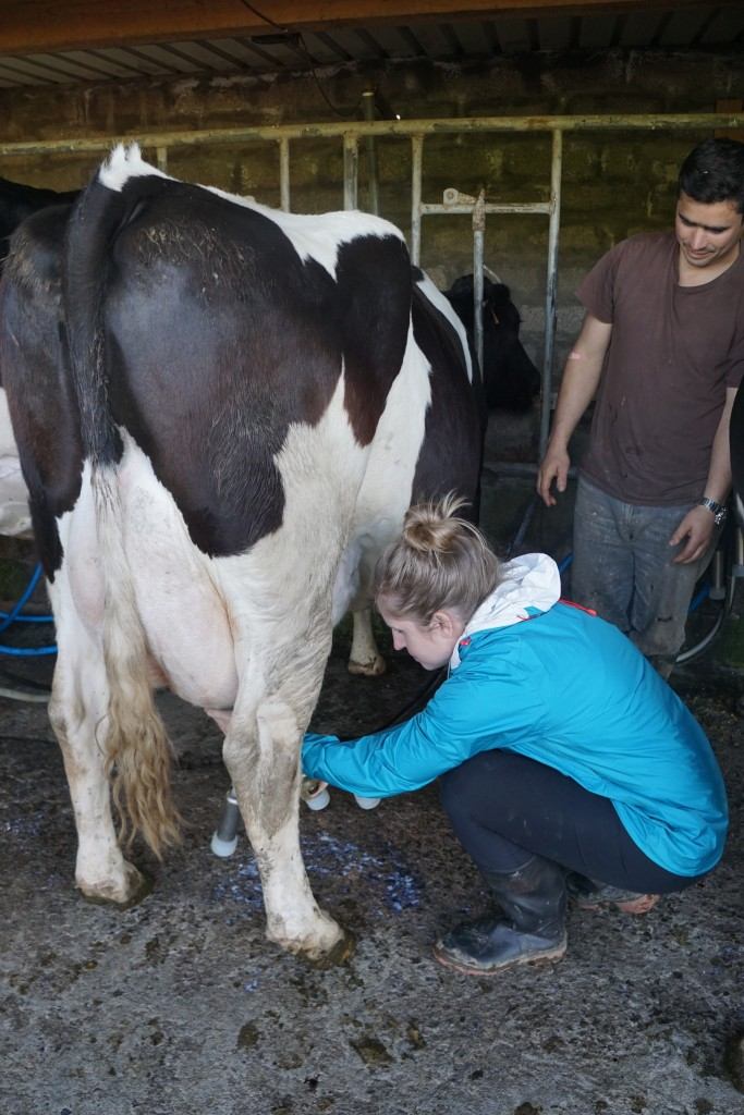 Azores_Islands_Danielle_MilkingCows